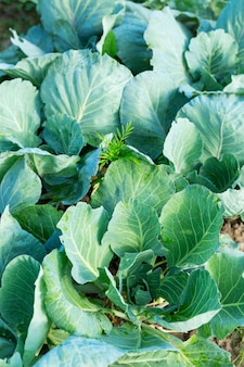 Cabbage tops in the garden. new harvest. vitamins and healthy food. vertical.