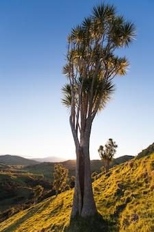 日光の下で丘の中腹にあるキャベツの木イーストケープニュージーランド
