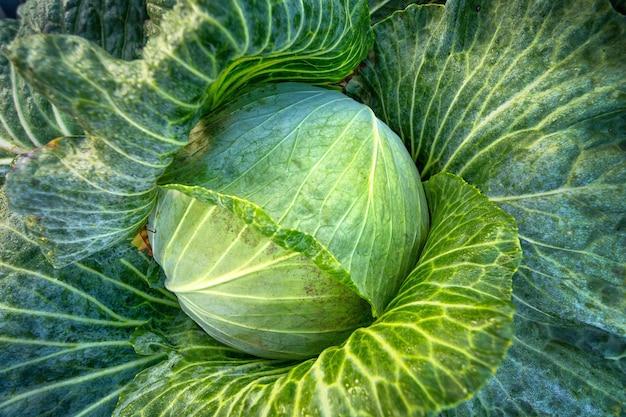 Капуста, вегетарианская пища, естественный зеленый фон. молодая свежая капуста на органической ферме.