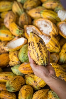 Cacao pod cut open to show cacao beans inside in thailand