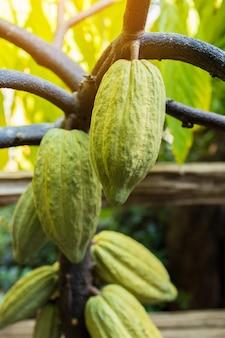 カカオの木の有機性ココア果実のさや