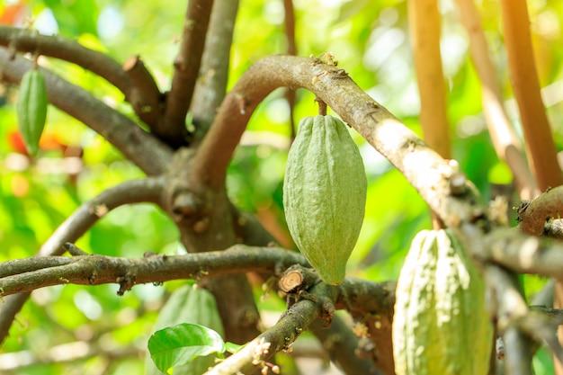 カカオの木(テオブロマカカオ)。自然の中で有機ココアフルーツポッド。