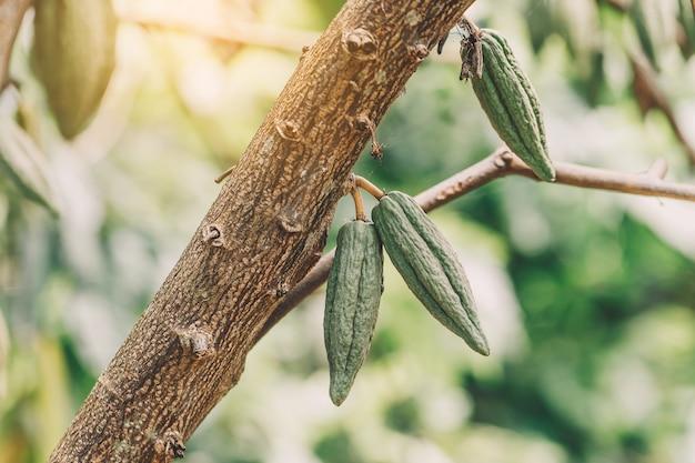 カカオの木(テオブロマカカオ)。自然界の有機カカオ果実のさや。