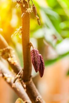 カカオの木(テオブロマカカオ)。自然界の有機カカオフルーツポッド。