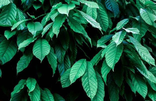 Cacao tree (theobroma cacao).