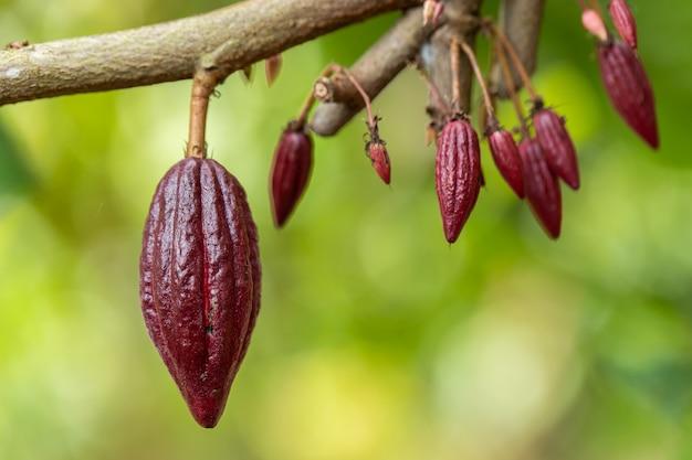 Cacao tree (theobroma cacao)