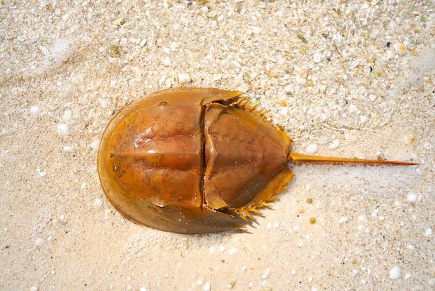Cacerola de mar limulus polyphemusメキシコ
