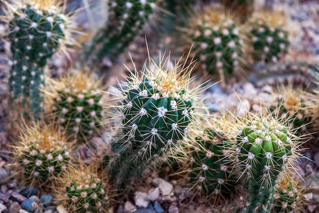 선인장은 식물원 온실의 암석 토양에서 자랍니다.