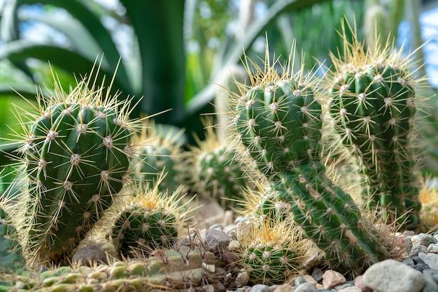 Cacti in nature.