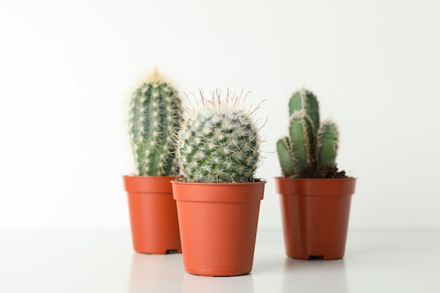 Cacti in pots on white surface. house plants