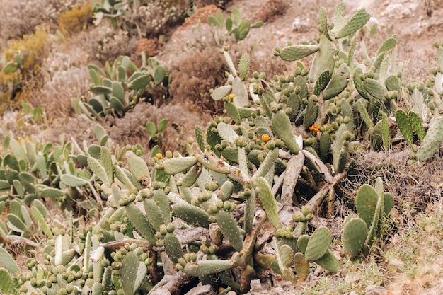 Cacti on the slopes of rocks on the island of tenerife.large cacti in the mountains.canary islands, spain.
