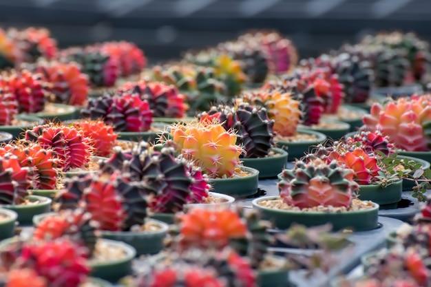 Cactus.beautiful cactus flowers in port.