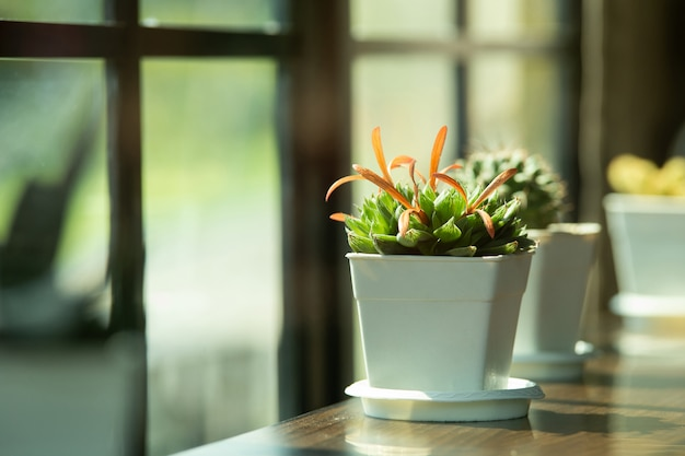 Cactus in clay pots placed on the table beside the window with morning sun