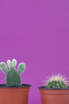 Cactus closeup on purple background