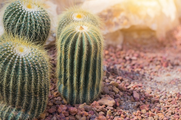 Cactus in the desert with red rock background