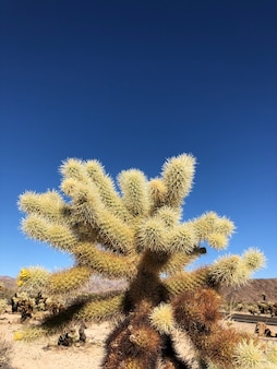 Cactus on the dry soil of the joshua tree national park, usa