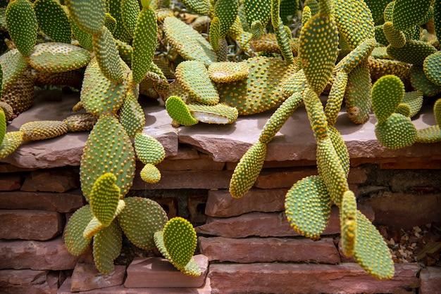 Cactus (echinocactus grusonii) cluster. well known species of cactus.