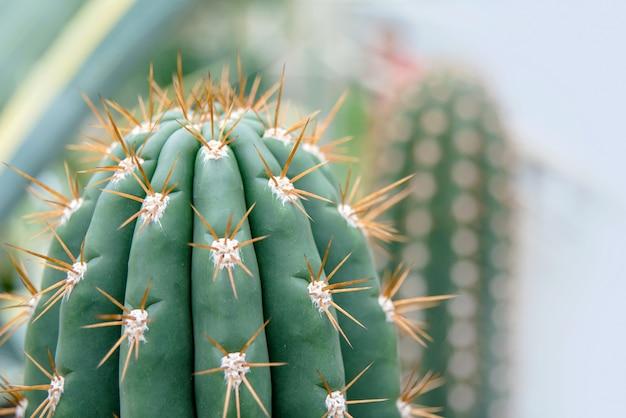 Cactus family, close-up barrel cactus. thorn cactus texture background, close up