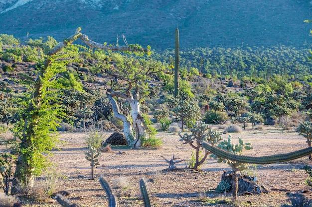 Поля кактусов в мексике, нижняя калифорния