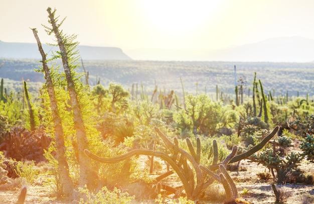 メキシコ、バハカリフォルニアのサボテン畑