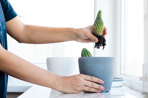 Цветок кактуса в горшке на белом столе и ярком фоне. домашние растения и концепция интерьера. кактусы пересаживают из одного цветочного горшка в другой.