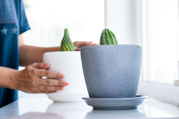 Cactus flower in the pot on the white table and bright background. home plants and interior concept. the cactuses are being replanted from one flower pot into another.
