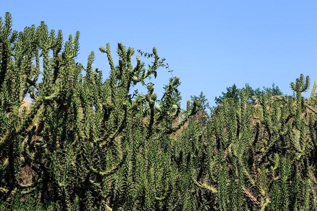 Cactus garden natural bacground.