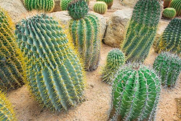 Cactus in the garden.