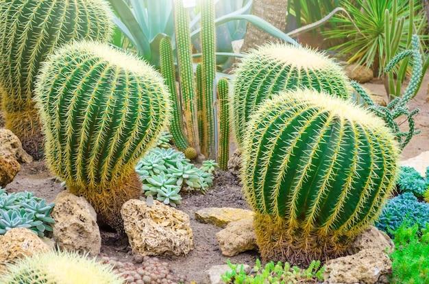 北アメリカの熱帯砂漠のサボテンがクローズアップ。