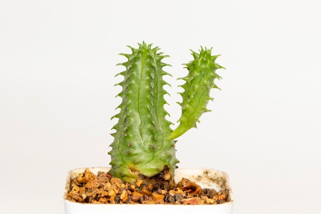 Cactus isolated. small decorative plant. front view.