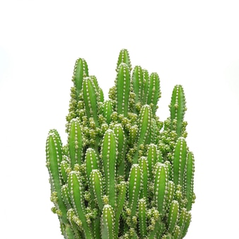 Cactus isolated