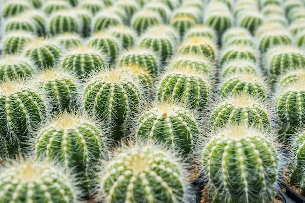 Cactus many variants in the pot for planting arranged in rows select and soft focus.