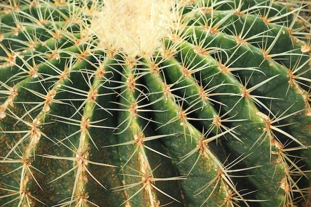 Предпосылка текстуры природы кактуса. колючки кактуса заделывают. выборочный фокус