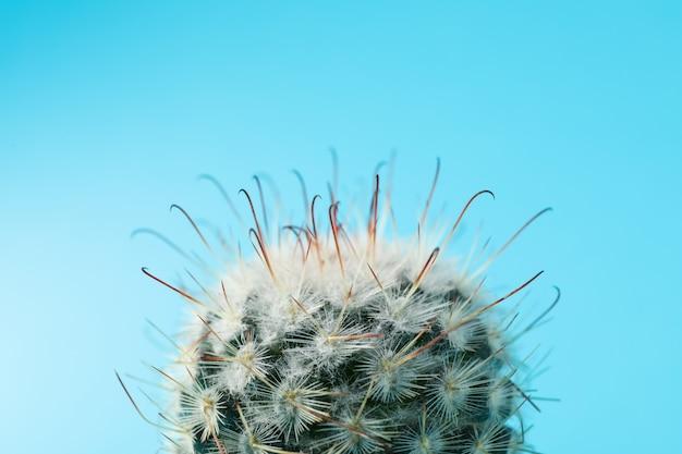 青色の背景にサボテン、マクロ。観葉植物
