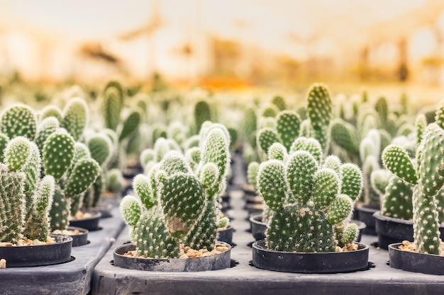 Cactus opuntia microdasys in the nursery morning light