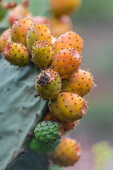 Cactus pear fruits (opuntia ficus-indica) ready to harvest