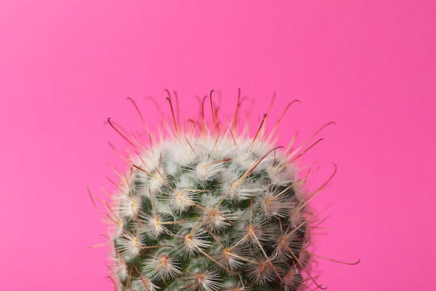 Cactus on pink surface. house plant