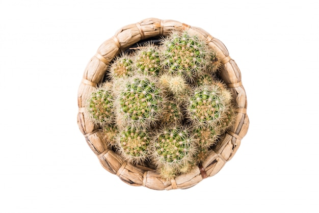 Cactus plant in bamboo planter isolated, top view