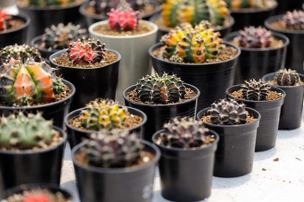 Cactus plant farm growing cactus plant in garden.