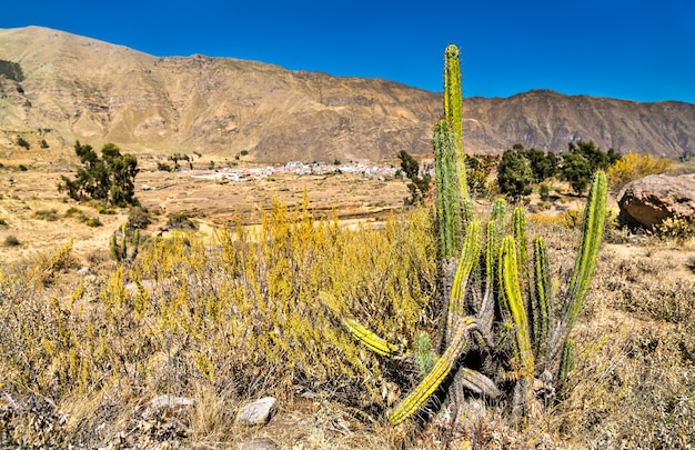 Cactus plants at the colca canyon in peru