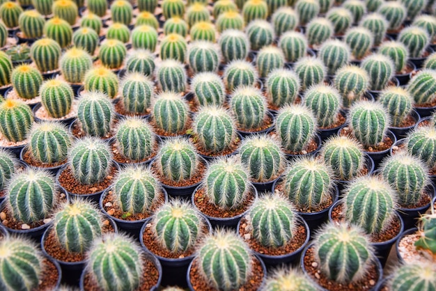 Cactus in pots in the garden nursery cactus farm agriculture greenhouse