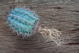 Cactus seedling with long roots ready for repotting