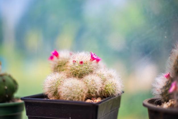 Кактус, небольшое растение