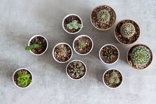 Cactus and succulent plants collection in small paper cups on a concrete surface. home garden. flat lay, top view. copy space