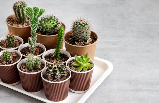 Cactus and succulent plants collection in small paper cups on a tray. home garden. copy space