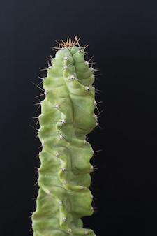Cactus tree isolated black background