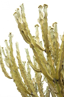 Cactus tree on white background