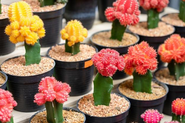 サボテンの木、さまざまな色レベルに置かれたプラスチック製の鉢に植え