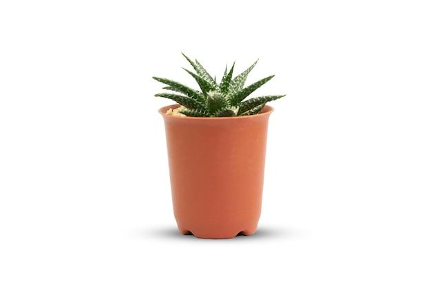 Cactus on white background isolate