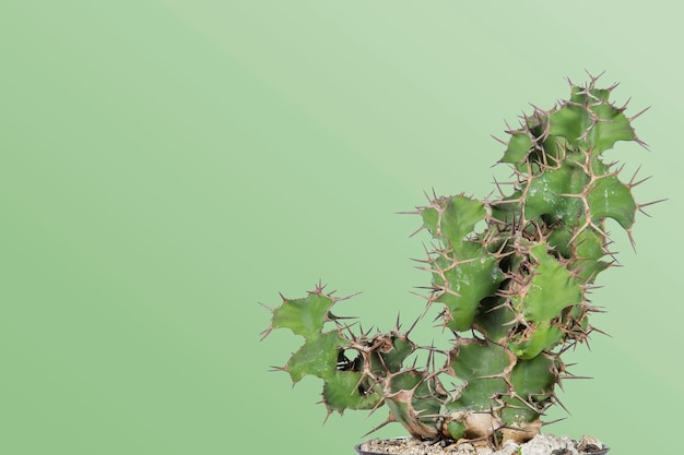 Cactus with minimal style and pastel green background with space for text on the side